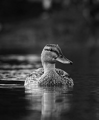 Hi (Charles chrich) Tags: water blackwhite bw park duck