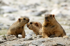 Himalayan Marmots (Rahul Gaywala) Tags: animal cute julley leh ladakh incredible india himalaya pure bliss blessed kashmir jk himachal mountain indus roadtrip wander travel blue sky clouds siachin glacier ice snow cloud adventure himalayanlandscape karakoram marmot rare rat squiral tamron 70300