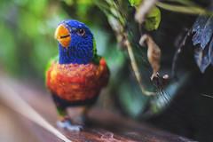 Spot. (ThePhotographersRepublic) Tags: parrot zoo bokek rainbow lorikeet bird birds feather leaves foliage