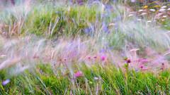 2015 Skye & Harris - Wind in the Machair (Birm) Tags: machair wind luskentyre isle harris hebrides outer western isles na hearadh flowers wild dune shore subject movement summer august long exposure coast blown