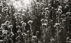 Mars attack (deniscadiou) Tags: argentique vegetale fleur flowers leica bw bokeh lummiere lith b