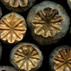 57696.34 Papaver somniferum (horticultural art) Tags: horticulturalart papaversomniferum papaver poppies poppy opiumpoppy seedpods seed closeup macro