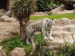 Tenerife 181 (Udo Schrter) Tags: teneriffa zoo whitetiger