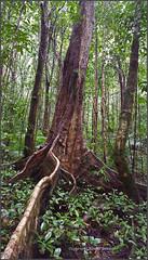 Daintree rainforest, Mossman Gorge (kimbenson45) Tags: australia australian rainforest kim benson nature queensland daintree mossman gorge trees roots buttress green brown forest woods tall tropics tropical subtropical