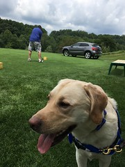 Calvin waits patiently while the golfers tee off! (hero dogs) Tags: golf tournament dog labrador cute therapydog servicedog