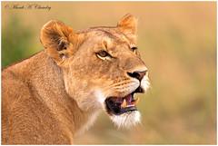 Queen of the Savannah! (MAC's Wild Pixels) Tags: queenofthesavannah lioness queenofthejungle wildcat carnivore pantheraleo wildafrica wildlife wildanimal outdoor femalelion africanwildlife maasaimaragamereserve kenya macswildpixels bigpussycat wildpussy lionking ngc npc