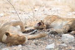 DSC_4130.JPG (manuel.schellenberg) Tags: namibia etosha animal nationalpark lion