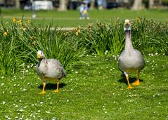Proper gander Vol. III @londonlights (London Lights) Tags: londonlights propergandervoliii london lights londres londra fowl gander goose bird