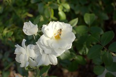 Hacienda Crossings garden (jeffmgrandy) Tags: livermore dublin d7200 hacienda garden flower insect closeup