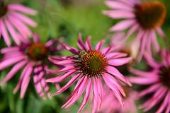 Alnwick Castle Gardens (Simon Caunt) Tags: flowers echinacea nikond800 d800 afsnikkor2470mmf28 closeup bokeh flora floraandfauna vivid