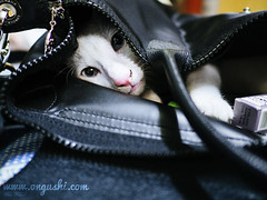 Cat 148: Bag Cat (ongushi) Tags: cat cats catsagram catstagram instagood kitten kitty kittens pet pets animal animals petstagram petsagram photooftheday catsofinstagram ilovemycat instagramcats catoftheday lovecats lovekittens adorable catlover instacat olympus bangkok thailand ongushi ongie mirrorless catmoments panasonic leica