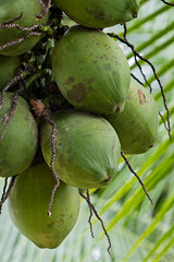 Coconuts, near the Rio Frio, Costa Rica, 2012 (larkvi) Tags: green fruit costarica coconut palm centralamerica winslow larkvi seanwinslow larkvicom wwwlarkvicom