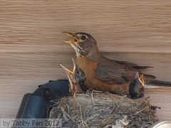 Robin Update (Tabby Fan) Tags: robin american nestlings