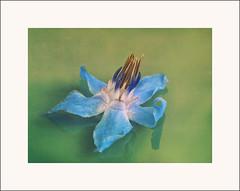 fragile (d@rkmarmotte) Tags: flower macro fleur photoshop 50mm burgundy olympus e3 bourgogne zuiko bourrache cs5 urcy olympuse3