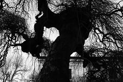 oh, salce (Maieutica) Tags: bw italy tree sadness italia country bn campagna albero tronco rami tristezza salice salicepiangente