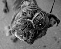 the inquisitive mind (bluechameleon) Tags: city urban bw dog cute feet vancouver nose blackwhite canine bulldog whiskers curious leash frown furryfriday bluechameleon sharonwish bluechameleonphotography ldlportraits