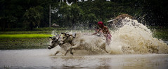 cow race (Koustav Sen) Tags: water canon cow village cows iso manual splash 135mm westbengal iso1250 whitebalanceauto highshutterspeed raincoming splashofwater 60d canon60d cowrace cannng canoneos60d canon18135mm moichara shutter4000