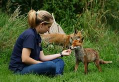 The Reward (Peter G Trimming) Tags: ellis wildlife katie centre surrey peter biscuit fox british trimming 2012 newchapel vulpes
