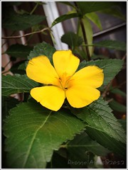 yellow flower (Rhannel Alaba) Tags: camera beautiful photography philippines picture cebu iphone pido alaba rhannel iphone4s
