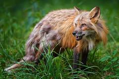 fuchs (Naturfotografie - Stefan Betz) Tags: captured bad wildpark gefangen mergentheim
