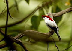 Araripe Manakin - Soldadinho-do-Araripe - Antilophia bokermanii