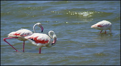 Soy tìmido (Stelle buone) Tags: sardegna pond sardinia uccelli estanque phoenicopterusroseus cabras oristano stagno phoenicopterus fenicotterirosa stagnodicabras