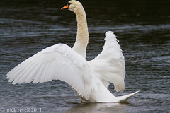 Mute Swan (mick revell) Tags: swans freedomtosoarlevel1birdphotosonly freedomtosoarlevel2birdphotosonly freedomtosoarlevel3birdphotosonly freedomtosoarlevel4birdphotosonly freedomtosoarlevel3birdsonly freedomtosoarlevel4birdsonly freedomtosoarlevel3birsdonly