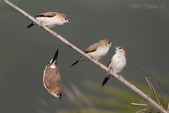 Indian Silverbills   () Tags: indian qatar      silverbills lesnafi
