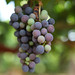 Malbec grapes during veraison
