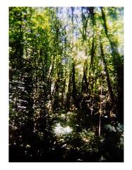 Forest Park Wildwood (Dead  Air) Tags: trees summer sky sunlight leaves portland holga stjohns forestpark