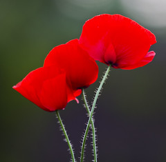 Flowers for you (Frank Fullard) Tags: flowers red flower green nature beauty garden enjoy poppy present fullard frankfullard