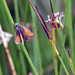 Small Skipper butterfly, Grane Haslingden Lancashire, August 2012