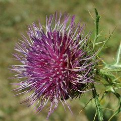Cynara cardunculus (SS) Tags: camera light summer italy brown mountain flower verde green nature colors composition contrast photography countryside focus raw purple angle pentax pov walk details perspective august crop framing fiore ambience lazio k5 blooming fleursetpaysages