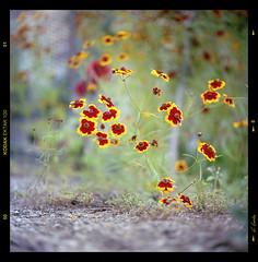 Flores (I) / Flowers (I) (A.González) Tags: flowers red flores flower verde green up yellow closeup angel lens rojo close flor amarillo yashica yashicamat124g angelgonzalez agiz3