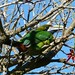 Emerald Toucanet (Jo Bentley)