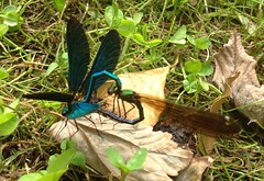 "Beautiful Demoiselle Damselflies • <a style=""font-size:0.8em;"" href=""http://www.flickr.com/photos/57024565@N00/7774619762/"" target=""_blank"">View on Flickr</a>"