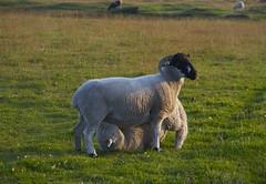 Lure of the teat (johnnylondon) Tags: tit sheep lamb motherhood teat suckling