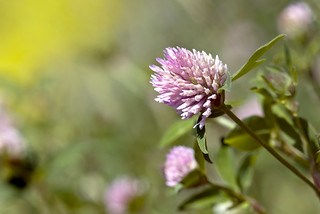 Mountain Wildflowers: Red Clover