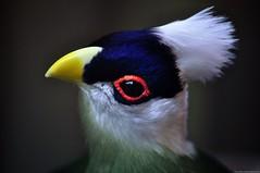 witkuiftoerako - Tauraco leucolophus - White-crested Turaco (MrTDiddy) Tags: white bird turaco wit crested vogel kuif tauraco witkuif whitecrested toerako witkuiftoerako leucolophus