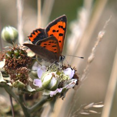 Small Copper butterfly (Lycaena phlaeas) (nondesigner59) Tags: flowers nature closeup fauna flora bramble lycaenaphlaeas eos50d smallcopperbutterfly nondesigner nd59 copyrightmmee