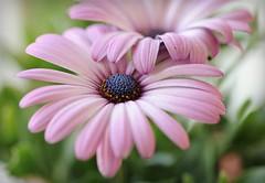 Flowers grow out of dark moments........... Corita Kent (nushuz) Tags: flowers nikon pretty bokeh africandaisies happysaturday d700 pinkilicious exploredthanks flowersgrowoutofdarkmoments delicateandelegant
