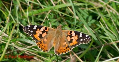Painted Lady, Hatch Hill, Somerset (predman69) Tags: orange white black green butterfly somerset paintedlady poldens elementsorganizer hatchhill