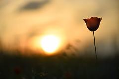 Summer raine (cosovan.vadim) Tags: sunset summer sun flower nature field grass nikon dof bokeh atmosphere calm silence poppies d750 f28 70200mm