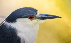 Dark Crowned Night Heron (SDRPhoto321) Tags: street new light urban cloud haven black color reflection tree green bird eye nature wet birds animal canon dark botanical outside eos bill eyes colorful exposure dof florida outdoor expression great birding perspective feathers young sunny depthoffield hero vista worth lands elevated inspire mighty egret depth inspiring floridawetlands