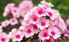 Phlox [Explored Aug 9, 2016] (G_E_R_D) Tags: phlox flammenblume pink vlambloem floks floxsläktet blume flower