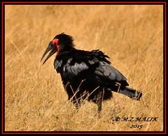 GROUND HORNBILL (Bucorvus leadbeateri)......MASAI MARA......OCT 2015 (M Z Malik) Tags: nikon d3x 200400mm14afs kenya africa safari wildlife masaimara maraserena transmara exoticafricanwildlife exoticafricanbirds ngc