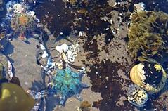 Two Starfish in the rock pools (Celeste33) Tags: rockpools starfish seastar meridiastracalcar