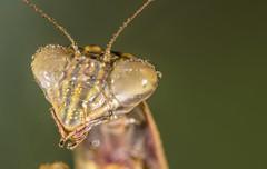 082316 03 (advertisingwv) Tags: advertisingwv josh shackleford southern wv beckley west virginia sony alpha a77 macro insect bug praying mantis mantid super sueprmacro