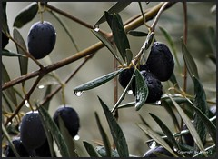 Verregnete Oliven * Rainy olives * Aceitunas de lluvia *   . DSC_2911-1 (maya.walti HK) Tags: 2011 280816 aceitunas copyrightbymayawaltihk flickr gotasdelluvia lluvia nikond3000 oliven olives pflanzen plantas plants rain raindrops regen regentropfen