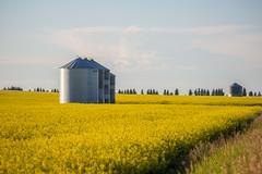 5C8A7677 (pbruch) Tags: calgary prairies grain canola growing seaon flowers flowering rape seed dirt road endless horizons